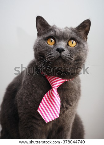 British cat with a pink tie - stock photo