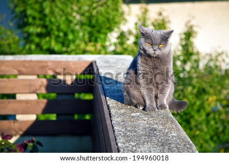 british cat with bright orange eyes sitting on the edge of parapet and listening to something