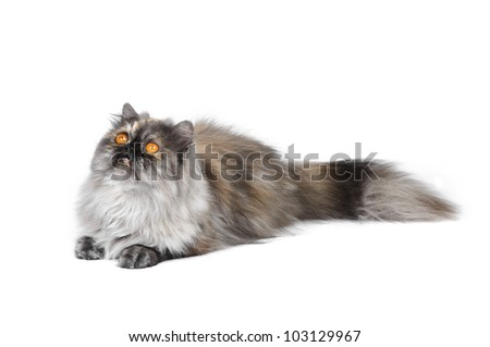 British exotic cat in studio on a white background
