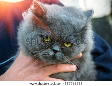 British Fold cat in the hands of the owner at sunset.
