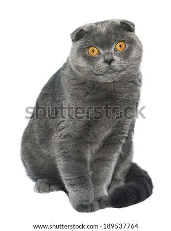 British Fold cat isolated on white background - stock photo