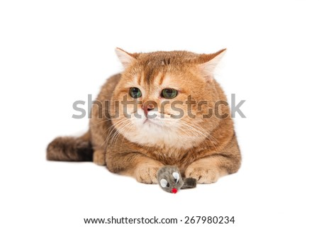 British gold ticked cat with green eyes on a white background. In mouse paws.