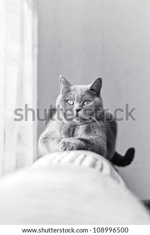 British gray cat lying in the window close up