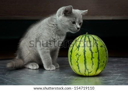 British gray kitten licks a juicy water-melon over black background - stock photo