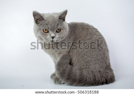 British grey cat isolated on a white background, studio photo