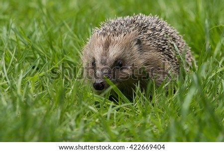 British Hedgehog