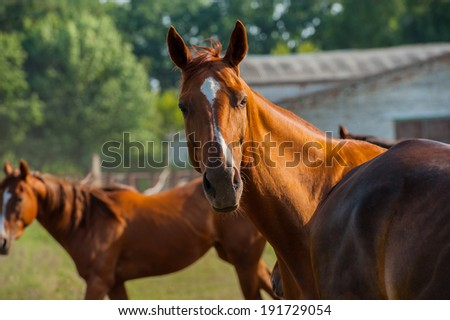 British horse portrait against a background of the horses in the herd on the farm, closeup - stock photo