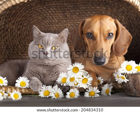 British kitten  and  dog red dachshund, cat and dog - stock photo