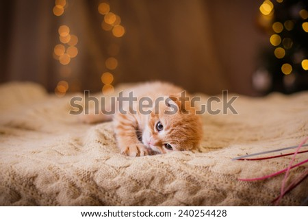British kitten, Christmas and New Year, portrait cat on a studio color background - stock photo