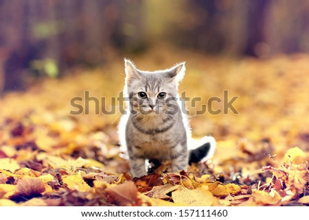 British kitten in autumn park, fallen leaves - stock photo