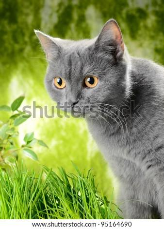 British  kitten in the grass - stock photo