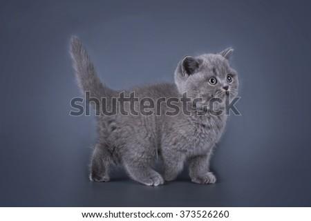 British kitten isolated on a dark background - stock photo