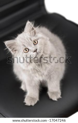 british kitten looking up - stock photo