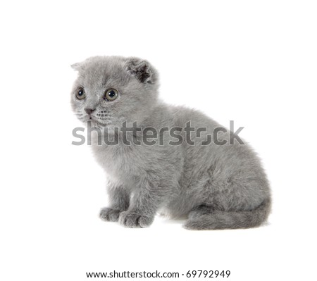 British kitten on a white background is isolated.