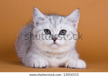 British kitten on orange background