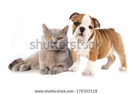 British kitten rare color (lilac) and english bulldog, cat and dog  - stock photo