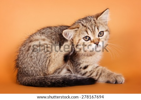 British kitten scratching his ear - stock photo