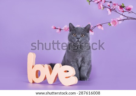 British kitten with a sprig isolated on a purple background - stock photo