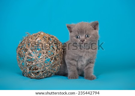 British kitten with Christmas decorations on blue background - stock photo