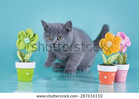 British kitten with flowers on a blue background isolated - stock photo