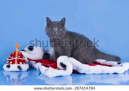 British kitten with the mantle of the king on a blue isolated background - stock photo