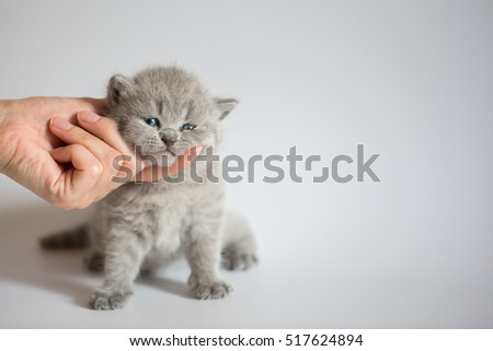 British kittens are three weeks old