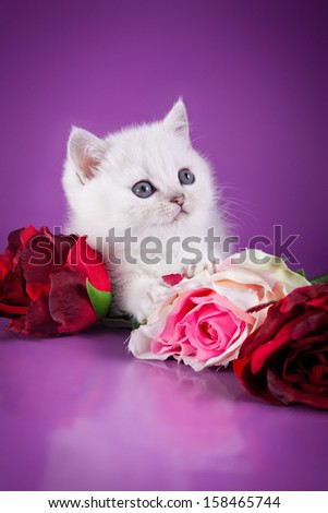 British kittens, cute, cat, white on a colored background