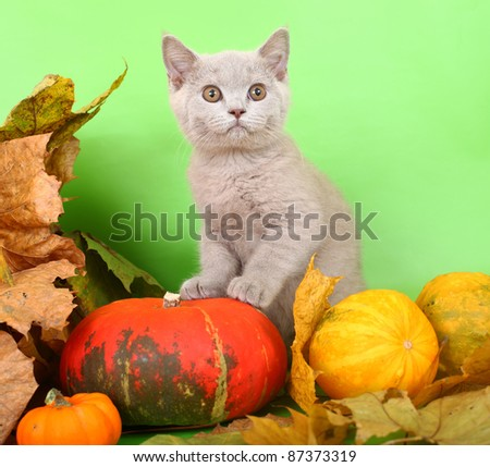 British lilac kitten with a pumpkin and autumn leaves. - stock photo