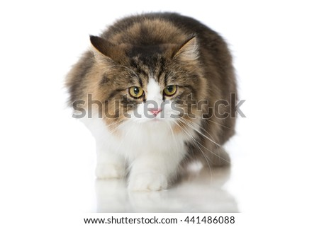 British longhair cat isolated