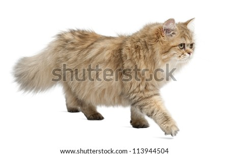 British Longhair cat, 4 months old, walking against white background - stock photo