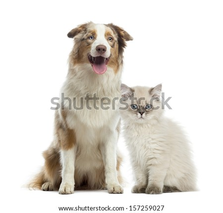 British Longhair kitten and Australian Shepherd sitting next to each other, isolated on white