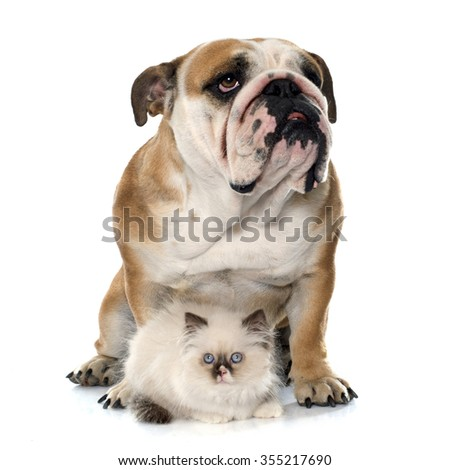 british longhair kitten and english bulldog in front of white background - stock photo