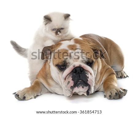 british longhair kitten and english bulldog in front of white background