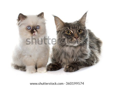 british longhair kitten and maine coon in front of white background
