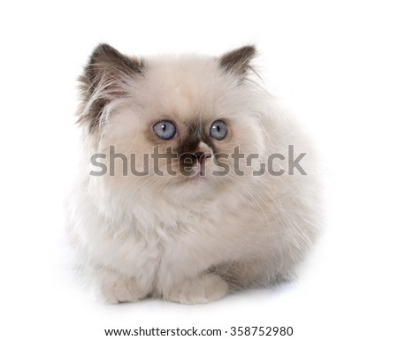 british longhair kitten in front of white background