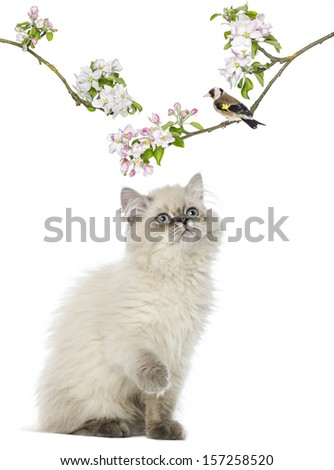British Longhair kitten looking up at a bird perching on a flowery branch, isolated on white - stock photo