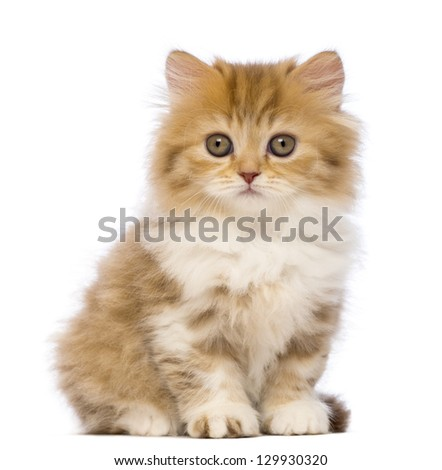 British Longhair kitten, 2 months old, sitting and looking at the camera in front of white background - stock photo