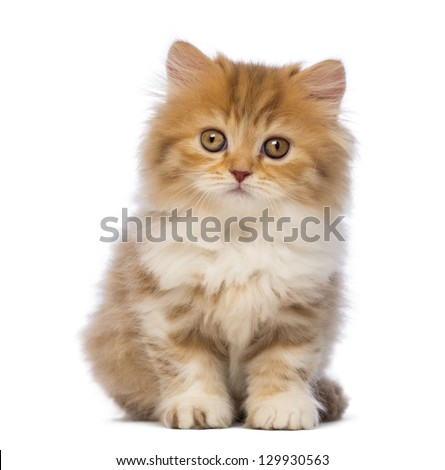 British Longhair kitten, 2 months old, sitting and looking at the camera in front of white background