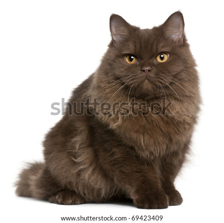 British Longhair kitten, 5 months old, sitting in front of white background - stock photo