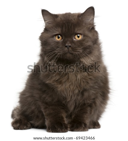 British Longhair kitten, 3 months, sitting in front of white background