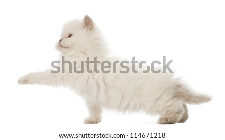 British Longhair Kitten playing, 5 weeks old, against white background - stock photo