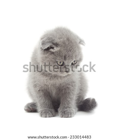 British lop-eared kitten funny looking down on a white background isolated