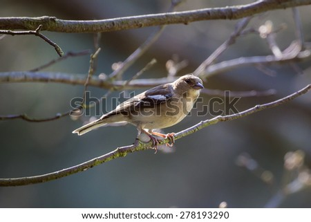 British Male Chaffinch observing from a forest branch in Northumberland woodland - stock photo