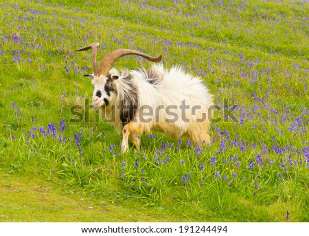 British Primitive goat breed feral with large horns and beard white grey and black in field with bluebells