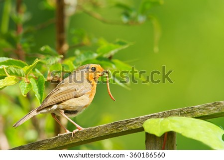 British Robin, Erithacus rubecula, single bird with beak full of grubs sitting on garden fence in a Cotswold garden, Painswick, Gloucestershire, england, United kingdom  - stock photo