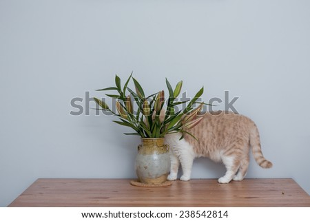 British Short hair Cat Hiding Behind Lily Flowers - stock photo