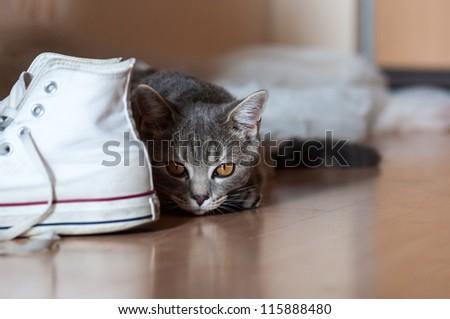 British Short-hair Cat hunting in the housing - stock photo