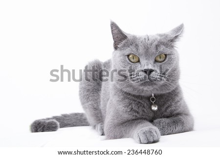 British Short hair cat isolated