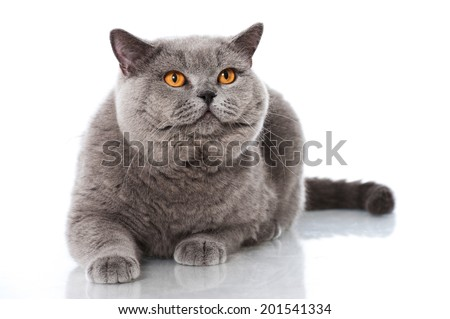 British short hair cat isolated on white - stock photo