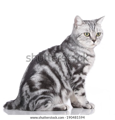 British short hair cat looking sideways - stock photo